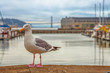 Freedom and travel concept. Seagull at Pier 39 in Fisherman's Wharf, San Francisco, California, United States. Golden Gate Bridge and docked boats on blurred background. Summer holidays concept.