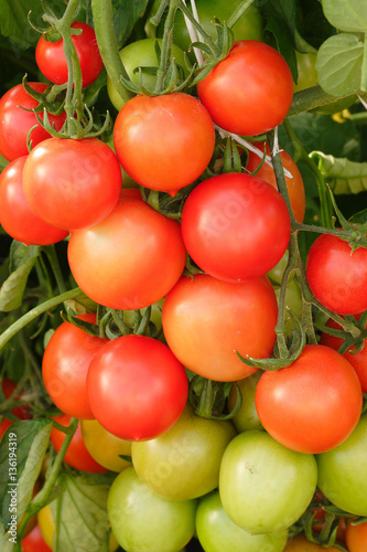 Red cherry tomatoes ripening