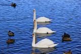 Trio: Drei Schwäne und Stockenten auf einem See (Vogelgrippe)