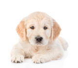 Golden Retriever puppy lying in front view. isolated on white