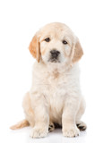 Cute golden retriever puppy looking at the camera. isolated on white