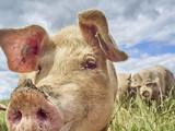 organic free range pigs close up - 136205789