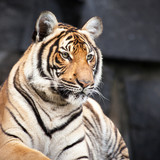 Tiger - Wildcat - Real and big animals really close. Walking in the zoo of Berlin.