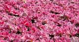 The Keukenhof, Dutch Public Spring Flowers Garden, Lisse, Zuid H