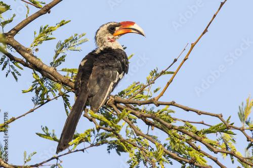 Fotobehang Zanzibar Von der Deckens Hornbill male sitting on a branch of a tree on a