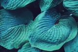blue huge leaf plant close up photo - 136222113