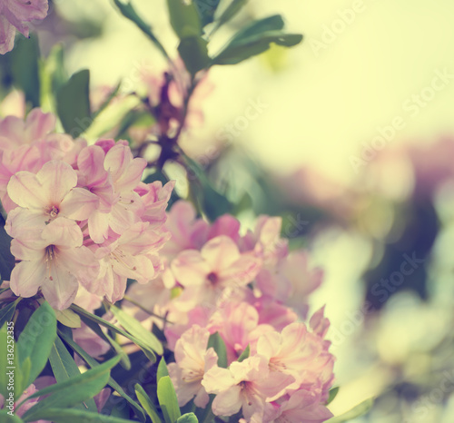 Aluminium Azalea Flowering of fresh tender Rhododendron maximum pink flowers with green leaves at spring time. Natural floral seasonal holiday background with copy space.