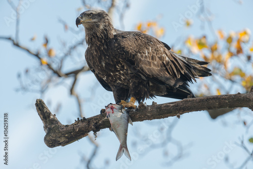 Poster Sub Adult Bald Eagle Eating Fish