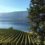 Lush green vineyards by lake