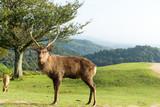 Wild Deer in mountain