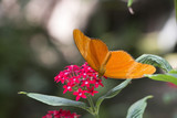 Butterfly bright orange on red flowers