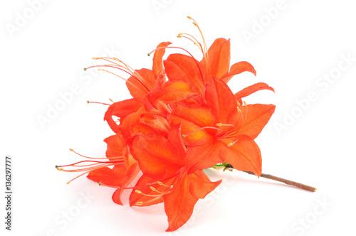 Canvas Azalea orange red azalea flowerheads on white isolated background.