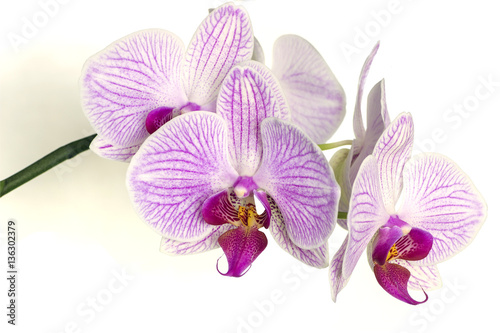 Foto op Canvas Lilac colorful phalaenopsis orchids isolated on white background