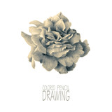 Illustration with rose drawn by hand with colored pencils. Pencil drawing. Floral element for design. Toned black-and-white