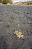 Maple leaf on a sandy beach
