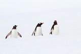 Three gentoo penguins at Cuvehrville Island, Antarctica
