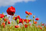 Poppy flower in the sky.