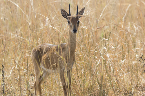 Papiers peints Zanzibar male antelope oribi standing in the middle of dry grass in the s