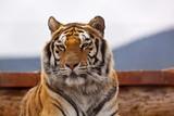 Tiger's Dimeanor