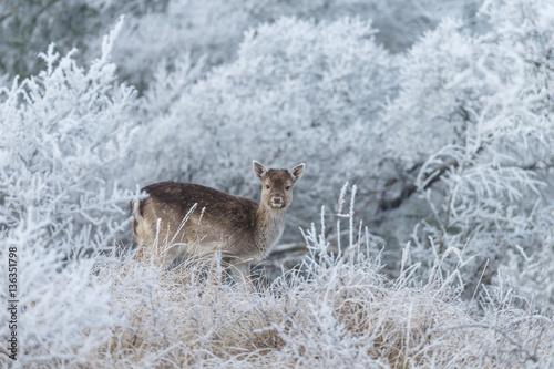 Poster Fallow deer in a winter landscape