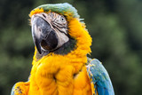 Macaw or parrot, a tropical bird with yellow and blue feathers and a large, strong black beak.