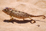 Proud Chameleon in the Desert of Namibia