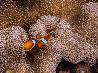 zwei anemonenfische indonesien