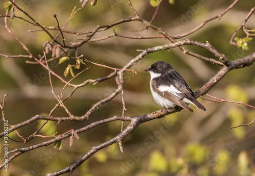 Poster Pied Flycatcher - Ficedula hypoleuca Male on branch