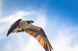 Portrait of Osprey feasting on fresh caught fish