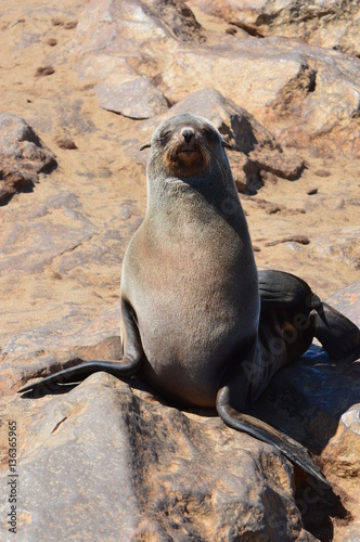 Poster Funny Seal in Namibia