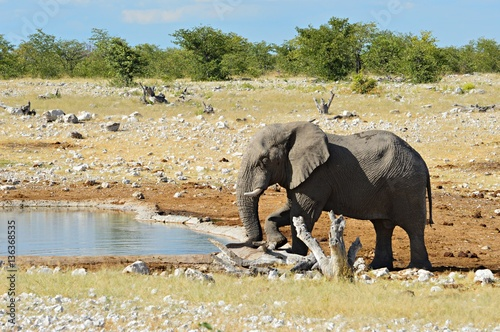Poster Drinking Elephant in Namibia