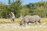 Amazing Rhino in the Etosh National Park