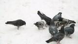 Group of pigeons sfeeding on the snow
