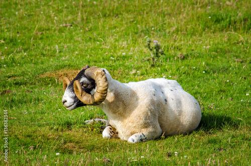 Blackface sheep Poster
