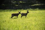 Mule deers