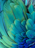 Macro photograph of the green and blue feathers of a macaw.