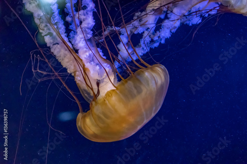 Poster two jellyfish float in light