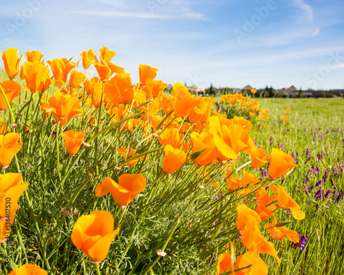 California Poppy flower in a field with the sun.