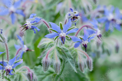 Borage, or starflower, annual herb in the flowering plant family Boraginaceae in delicate blue periwinkle color