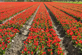 Plantation of tulips. Dutch selection. Dutch tulips. Tulips in Holland. Tulips fields in the Netherlands. Red tulips. Flower carpet. Flower field. Many flowers. Sea of flowers.