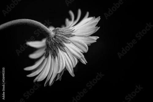 Close up macro Gerbera flower  © Sutasinee