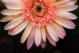 Close up macro Gerbera flower