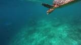 eine Schildkröte taucht zum Luft holen auf. - 136455107