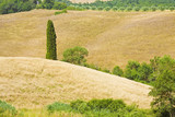 Tuscan landscape with cypress tree on wheat field (Italy)