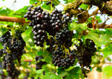 vineyard , grapes harvest