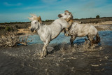 Angry white Horses Biting each other