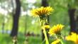 Dandelion flowers in the park, field closeup, macro. Nature scene. Slow motion 1080 full HD video footage. High speed camera shot