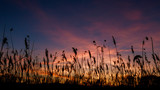 The bulrushes against sunlight over sky background in sunset with a flighting