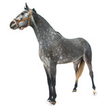 Purebred horse isolated