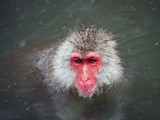 Japanese snow monkey in hotspring in snow